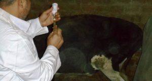 تحصين 900 رأس ماشية واغنام بمركز جهينة ضمن اعمال الحملة القومية للتحصين ضد الحمي القلاعية بسوهاج